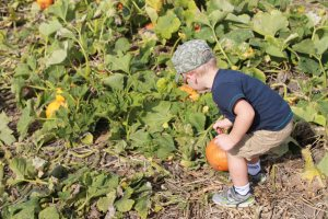 picking pumpkin